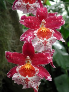 Oncidium orchid bloom