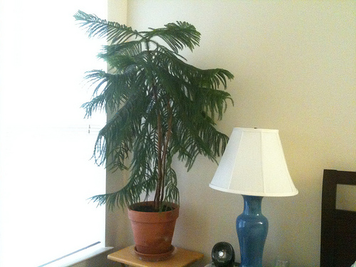 norfolk pine plant, norfolk pine growth rate, norfolk pine care, norfolk pine watering, on norfolk pine house plant hardiness