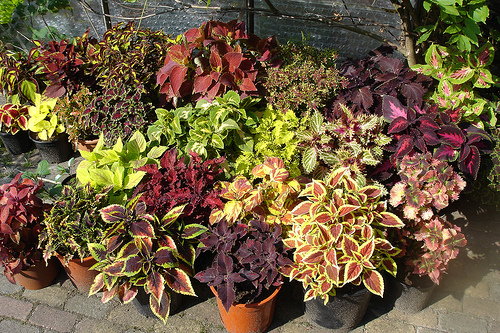 taking care of coleus plants  sunday gardener, Natural flower
