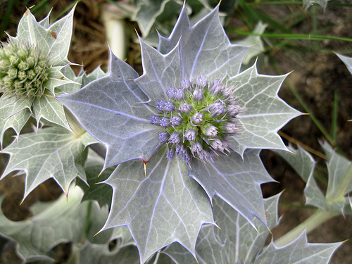 The Sea Holly