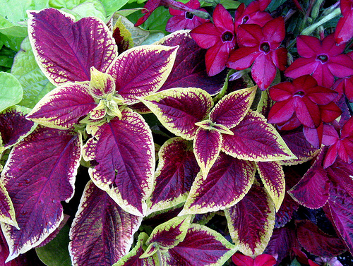 Taking Care of Coleus Plants Sunday Gardener