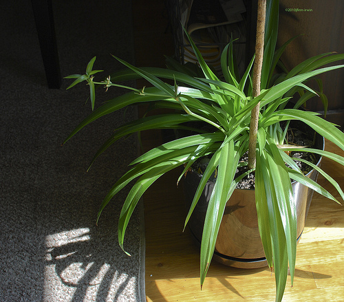spider plant care how to grow a spider plant sunday gardener. Black Bedroom Furniture Sets. Home Design Ideas