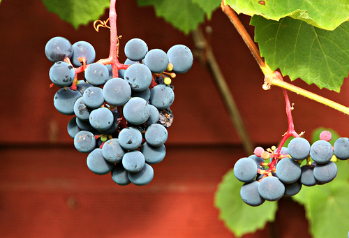 Growing Grapevine in a Container II