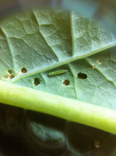 Controlling Cabbage Worms: No Insecticides!