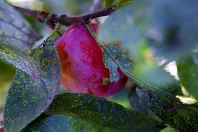 Caring for a Plum Tree