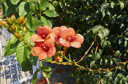 How To Repot Your Hibiscus Sunday Gardener