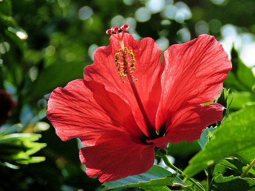 Hibiscus Growing Tips Sunday Gardener