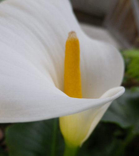 Growing Calla Lily Indoors Sunday Gardener