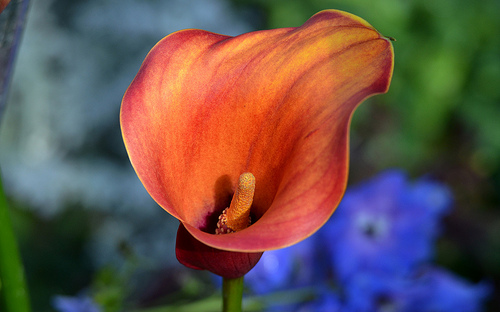 How To Repot Your Calla Lily Sunday Gardener