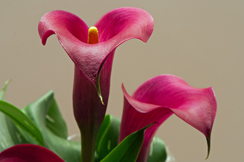 How To Make Your Calla Lily Bloom Sunday Gardener