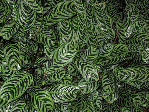How To Care For Calathea Plants Sunday Gardener