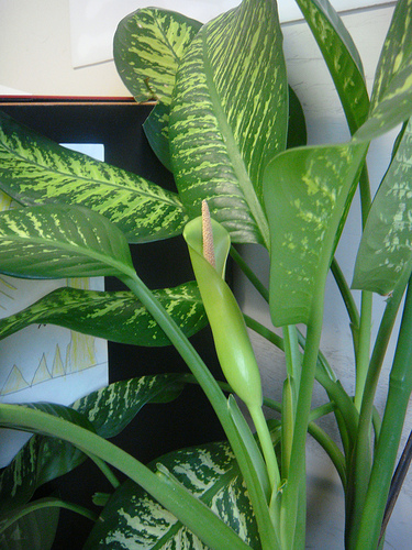 Tips for Pruning Your ffenbachia Plant - Sunday Gardener House Plant Ffenbachia on house slugs, house decorations, house vines, house flowers, house fire, house home, house mites, house nature, house design, house people, house crafts, house family, house gifts, house plans, house rodents, house cars, house candy, house ferns, house chemicals, house stars,
