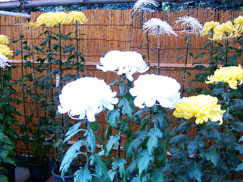 Growing Chrysanthemums in Pots