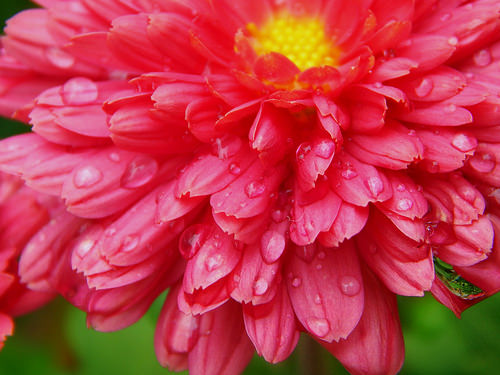 Chrysanthemum Growing Tips