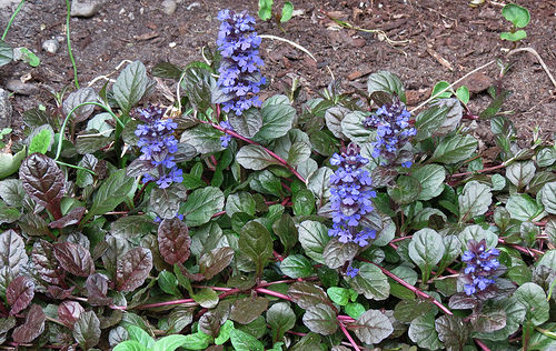 Ajuga Plants for a Great Ground Coverage