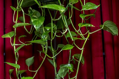 How to Water Pothos Plants?