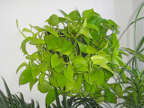 How to Repot Pothos Plants