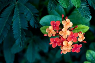 How to Care for Ixora Plants