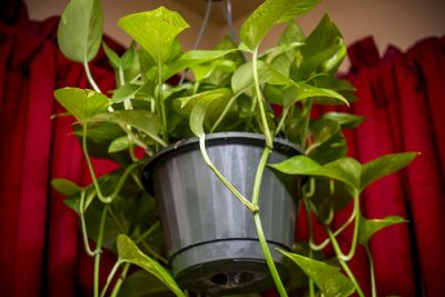 Pothos Plant Watering: How to Aerate the Soil