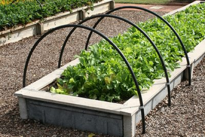 How to Grow Lettuce I