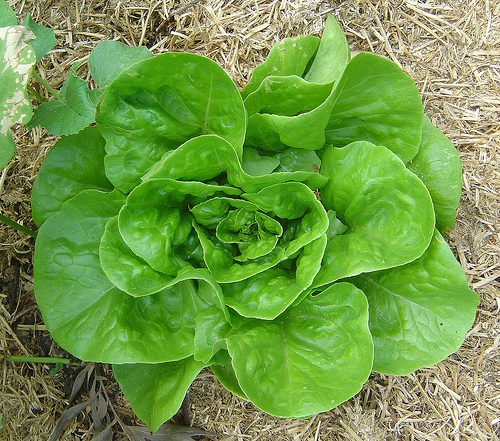 The 6 Main Lettuce Types to Grow in Your Garden