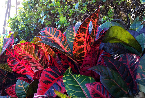 How to Care for Croton Plants Indoors