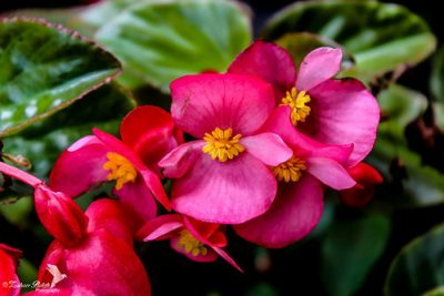 How to Grow Wax Begonias