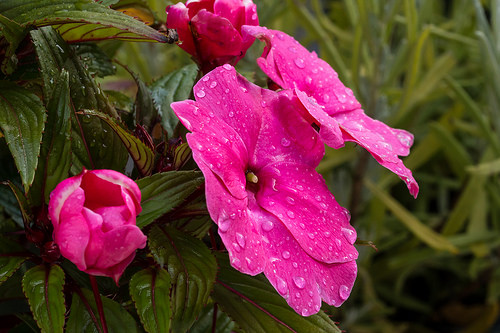 How to Grow Impatiens