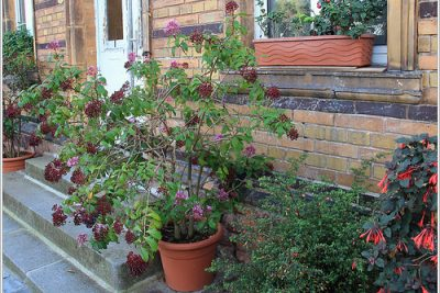 Growing Fuchsia Plants in Containers