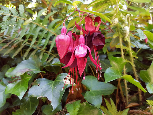Fuchsia Plants: History, Varieties and Climatic Requirements