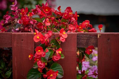 Growing Wax Begonias from Seed