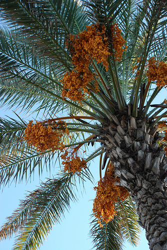 The Top 5 Uses for Date Palms